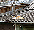 Vilnius, Snipiskes, cat on a hot tin roof